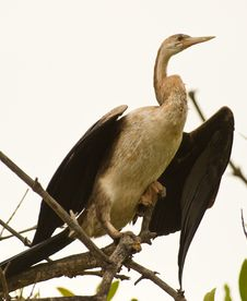 African Darter Royalty Free Stock Images