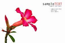 Free Pink Impala Lily Stock Photo - 18274560
