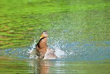 Duck Splashing Water