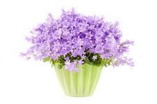 Free Campanula Flowers Isolated On White Background Royalty Free Stock Images - 18276169
