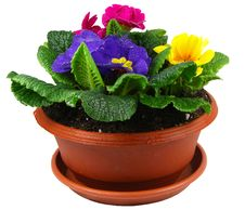 Free Polyanthus Pot Royalty Free Stock Images - 18276589