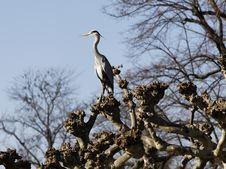 Free Heron Stock Photo - 18276900