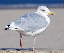 Free Seagull Royalty Free Stock Image - 18277146