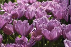 Free Purple Tulips Royalty Free Stock Photography - 18277427