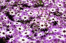 Free Purple And White Daisies Background Royalty Free Stock Image - 18277446