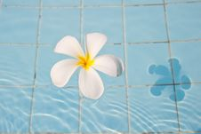 Free Frangipani In A Swimming Pool Royalty Free Stock Image - 18277916