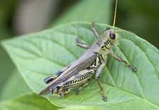 Free Grasshopper Resting On A Dogwood Leaf Stock Image - 18278551