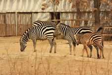 Free Zebras Stock Images - 18278944