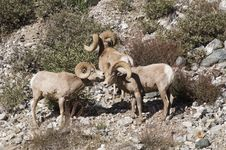 Free Big Horn Sheep Stock Images - 18279194