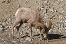Free Big Horn Sheep Stock Images - 18279204