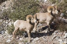 Free Big Horn Sheep Stock Images - 18279224