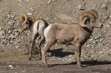 Free Big Horn Sheep Stock Images - 18279234