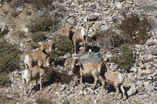 Free Big Horn Sheep Royalty Free Stock Photography - 18279277