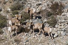 Free Big Horn Sheep Royalty Free Stock Photo - 18279285