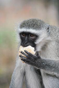 Free Vervet Monkey Royalty Free Stock Photos - 18279908