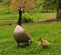 Free Canadian Goose With Gosling Stock Photo - 18282400