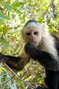 Free Capuchin Monkey Stock Photos - 18286813