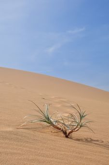 Plant In The Desert Royalty Free Stock Photo