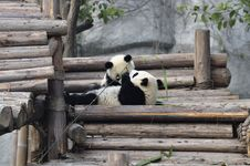 Free China Panda In Chengdu Royalty Free Stock Photos - 18281538