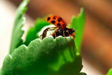 Free Ladybug Stock Images - 18281544