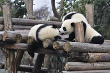 Free China Panda In Chengdu Royalty Free Stock Images - 18281549