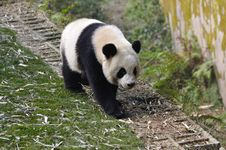 Free China Panda In Chengdu Royalty Free Stock Photo - 18281595