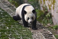 Free China Panda In Chengdu Stock Photography - 18281622