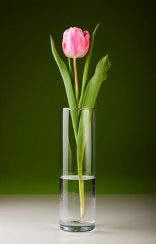 Free Pink Tulip Royalty Free Stock Photo - 18282895