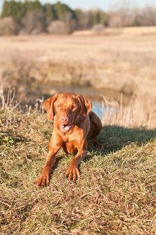 Free Crouching Vizsla Dog (Hungarian Pointer) Royalty Free Stock Photos - 18282918