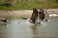 Free Canada Geese Taking Off From A Pond Stock Photography - 18282932