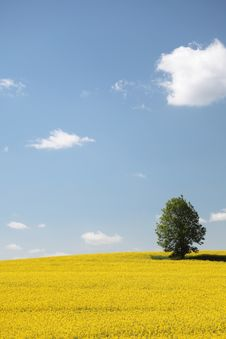 Free Yellow Field Rape In Bloom With Blue Sky Stock Photo - 18283760