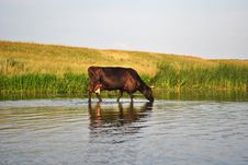 Free The Cow Drinks Water In The River Stock Image - 18283901