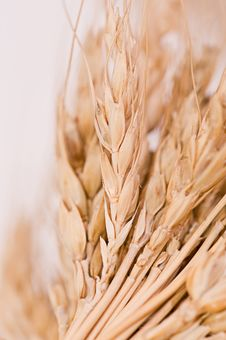 Free Closeup Of Corn In The Ear Stock Image - 18284091