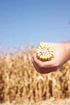 Corn In Front Of Field Royalty Free Stock Images