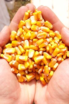 Free Fresh Corn In Hand Royalty Free Stock Photos - 18284738