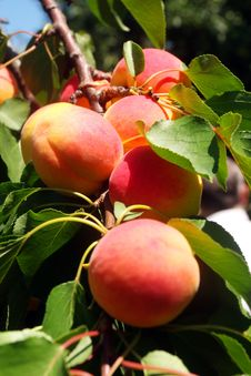 Free Peaches On A Branch Stock Image - 18285161