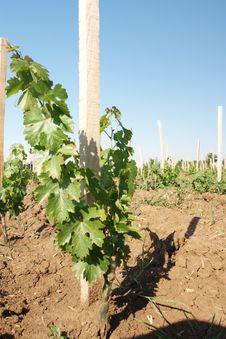 Free Vineyard In Close-ups Stock Photo - 18285180