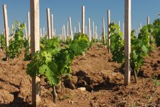 Free Vineyard In Close-ups Stock Images - 18285194