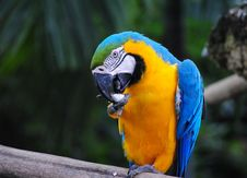 Free Macaw Licking Stock Photo - 18285660
