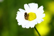 Free Fly On A Daisy Stock Photos - 18285673