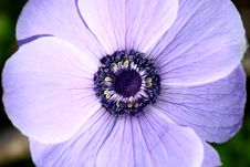 Free Flower Details (Purple Anemone) Royalty Free Stock Photography - 18285887