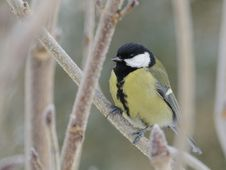 Free Great Tit (Parus Major) Royalty Free Stock Images - 18286219