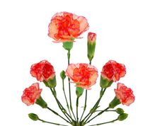 Free Carnation Flower Stock Photography - 18287402