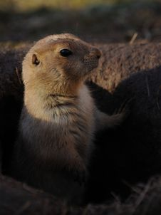 Free Prairie Dogs (Cynomys) Stock Photo - 18287660