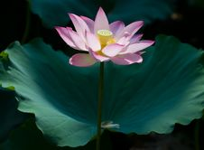Free Pink Lotus Royalty Free Stock Photo - 18287945