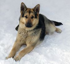 Free The  Dog Of Breed A German Shepherd On Snow Royalty Free Stock Photography - 18288587