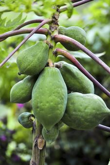Free Papaya Tree Stock Photography - 18288732