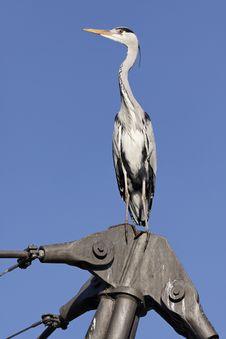 Free Heron Stock Photo - 18288850