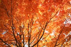 Free Brilliant Fall Colors On This Maple Tree Stock Photography - 18288952