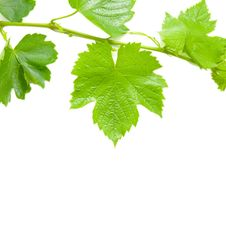 Free Young Grapevine Stock Images - 18289404